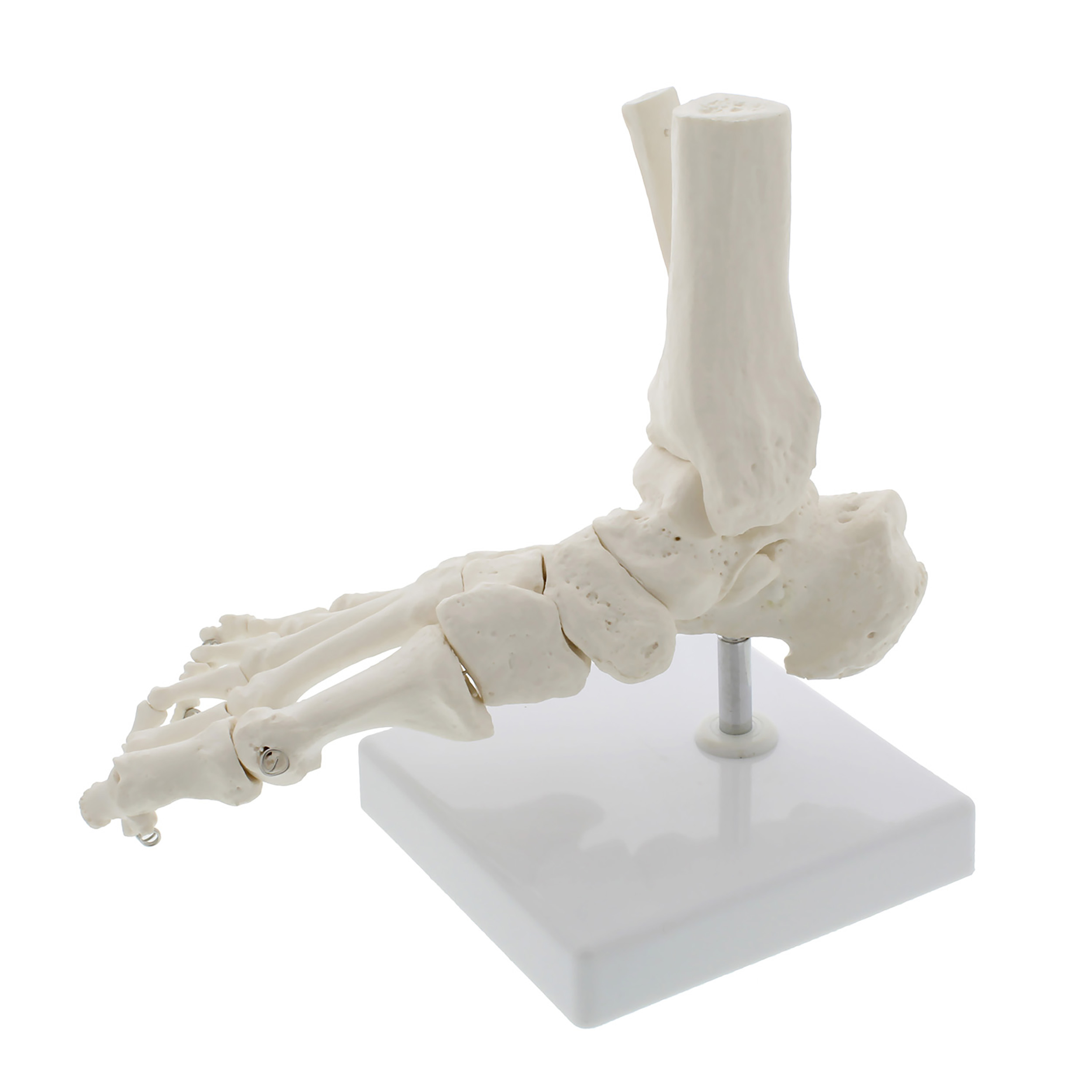 Mondo Life Size Foot and Ankle Model Anatomical Foot Model Skeleton ...