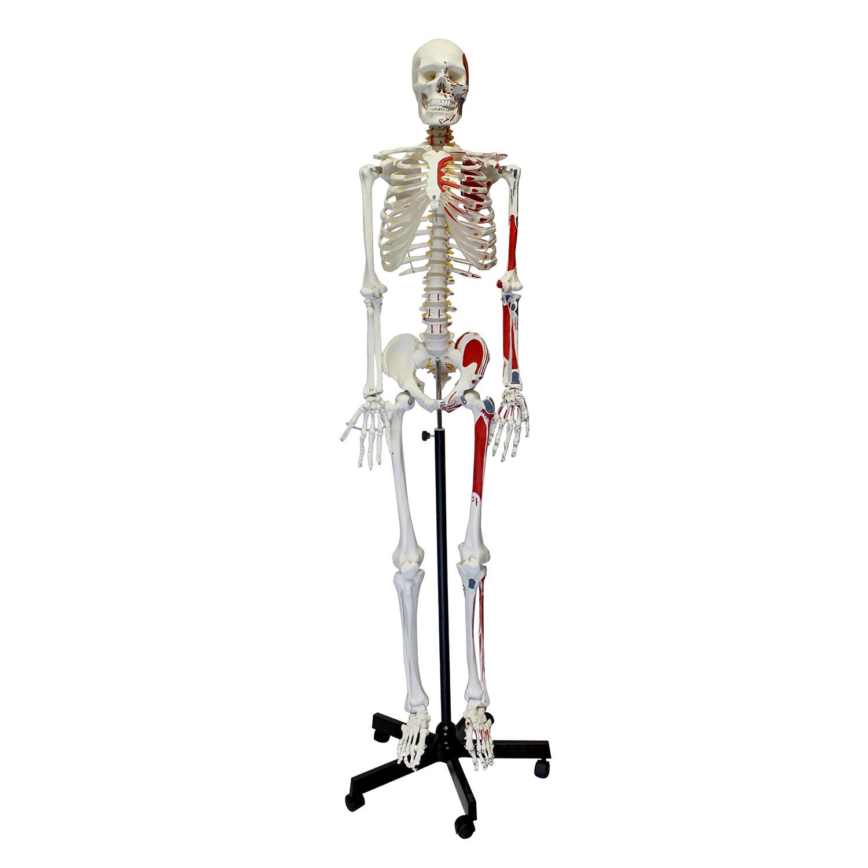 Mondo Medical Skeleton Model Life Size Human Skeleton Model