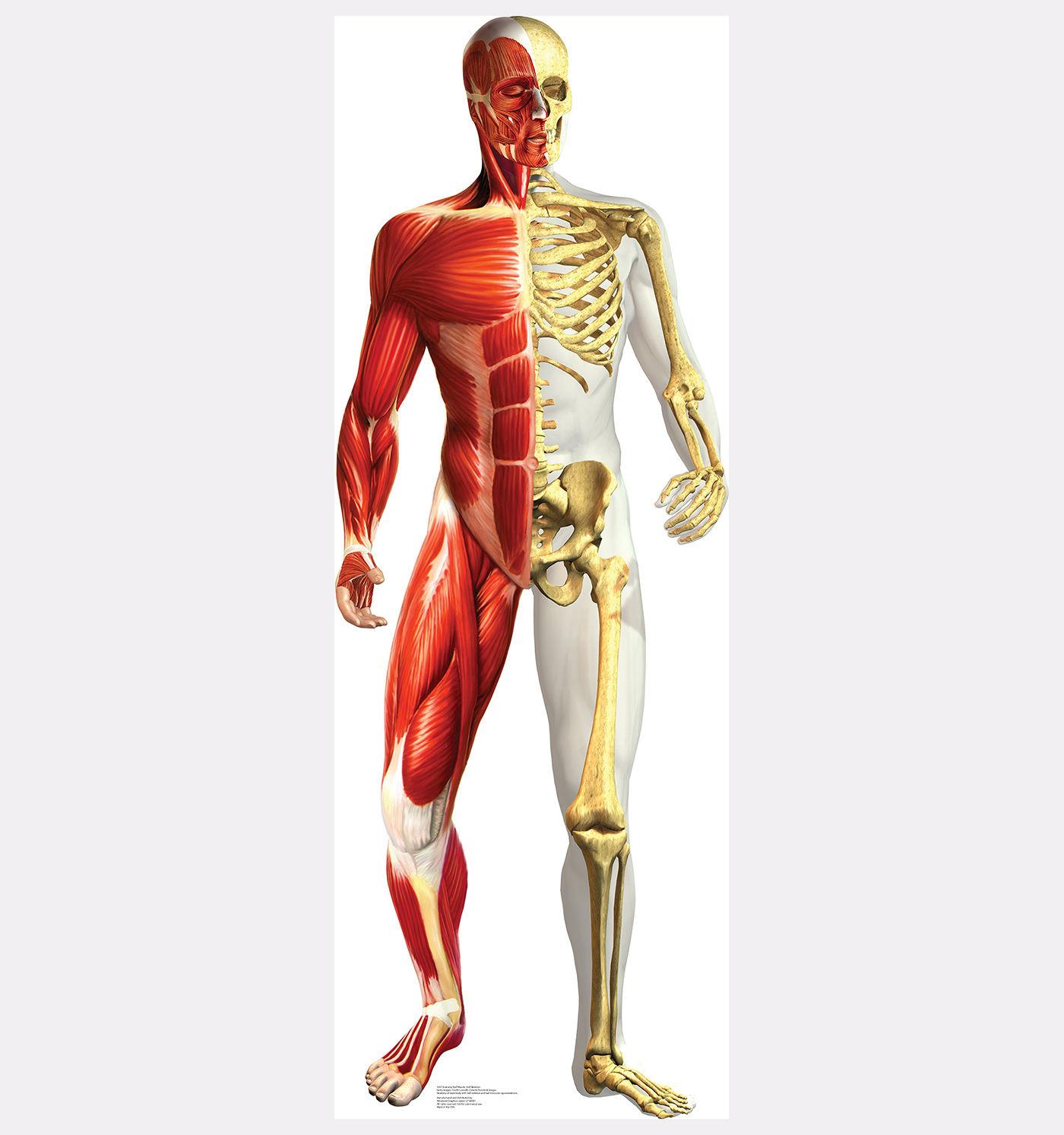Anatomy Half Muscle Skeleton Lifesize Standup Standee Cardboard