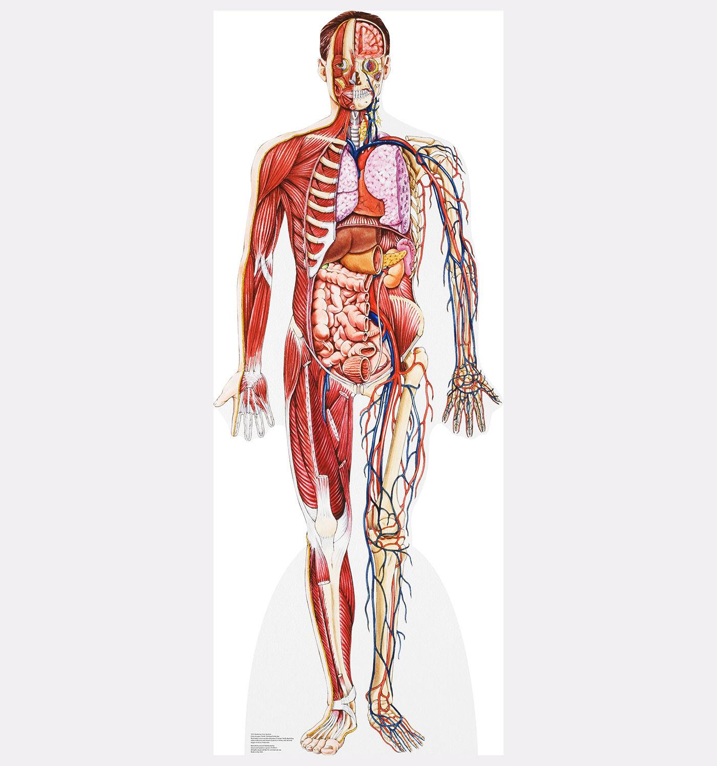 Human Anatomy Cross Section Lifesize Standup Standee Cardboard ...