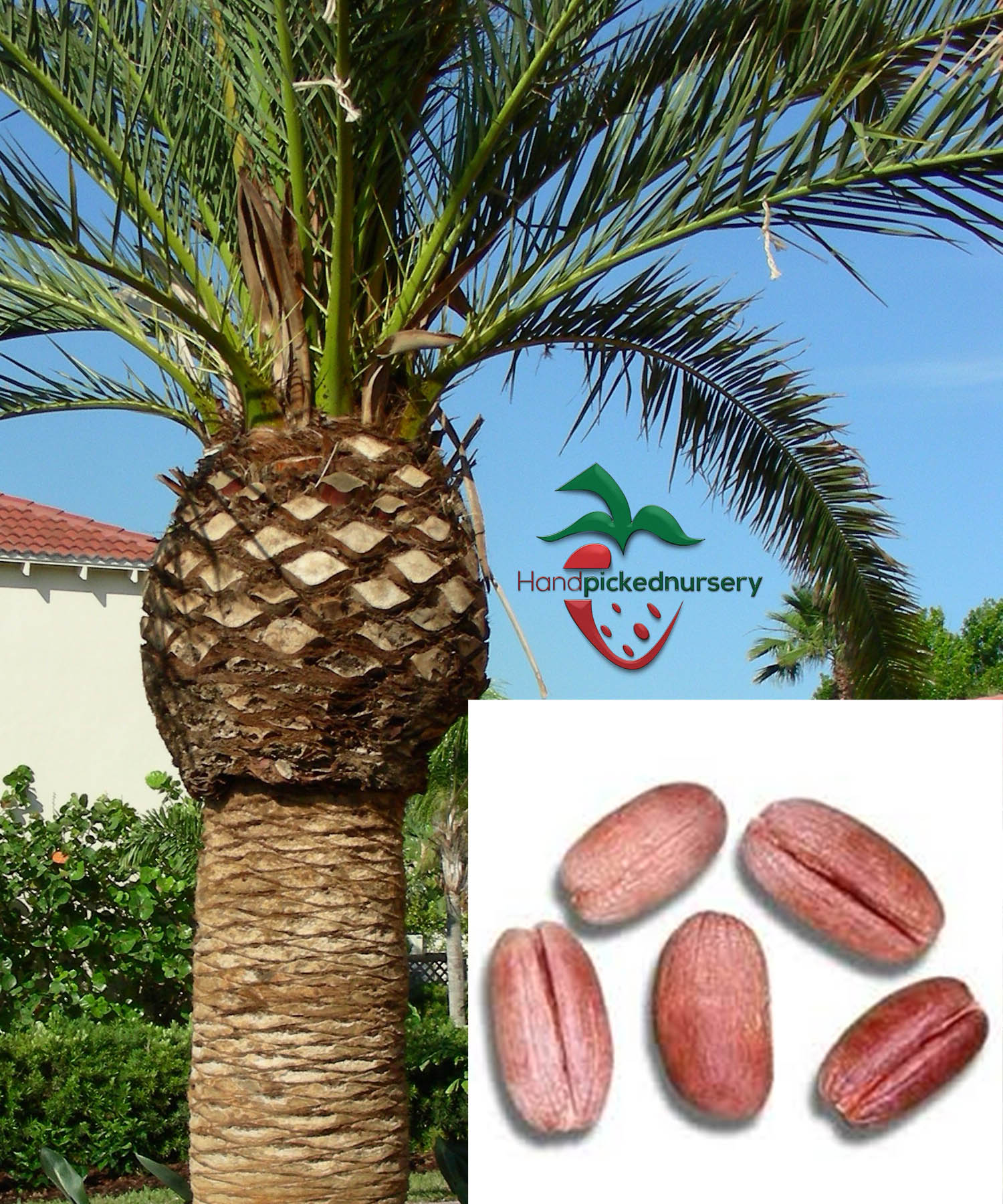 Canary island date palm growing from seed