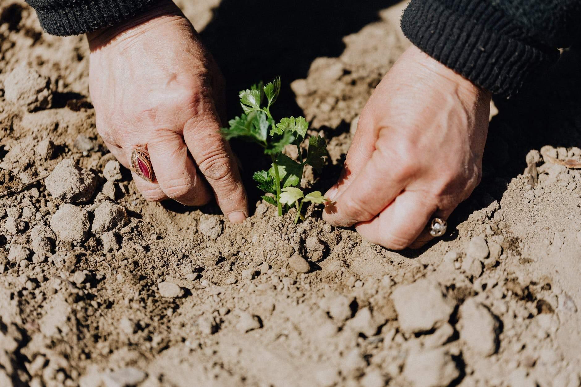 growing potato plants, yesomusa, grow lights