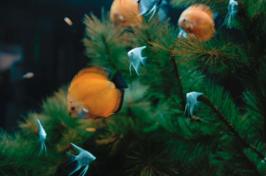 christmas tree recycling, yescomusa, fish