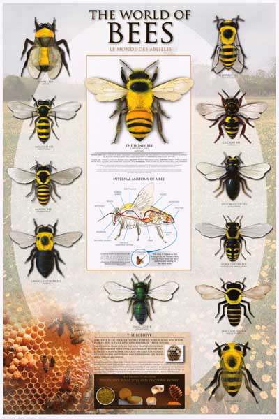Bees Types of Bees Apoidea Beekeeping 24x36 Poster | eBay