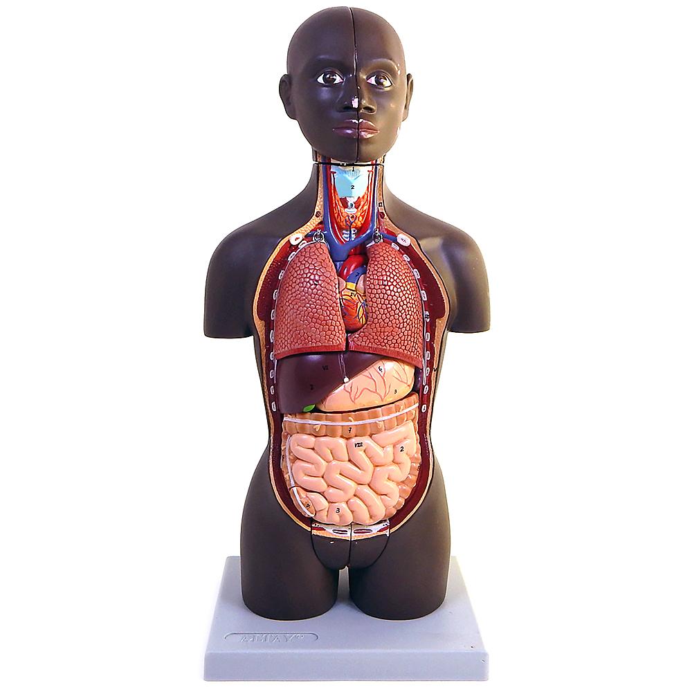 Altay Mini Torso Dual Sex African Type Anatomy Teaching Model 16